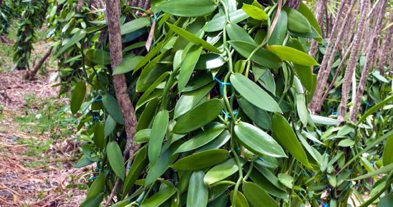 La Vanille épopée D Une Orchidée